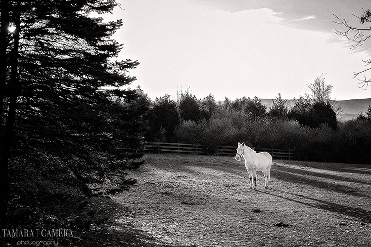 Black and white photography | white horse alone in a field.
