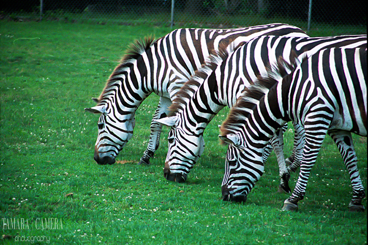A row of three zebras grazing.