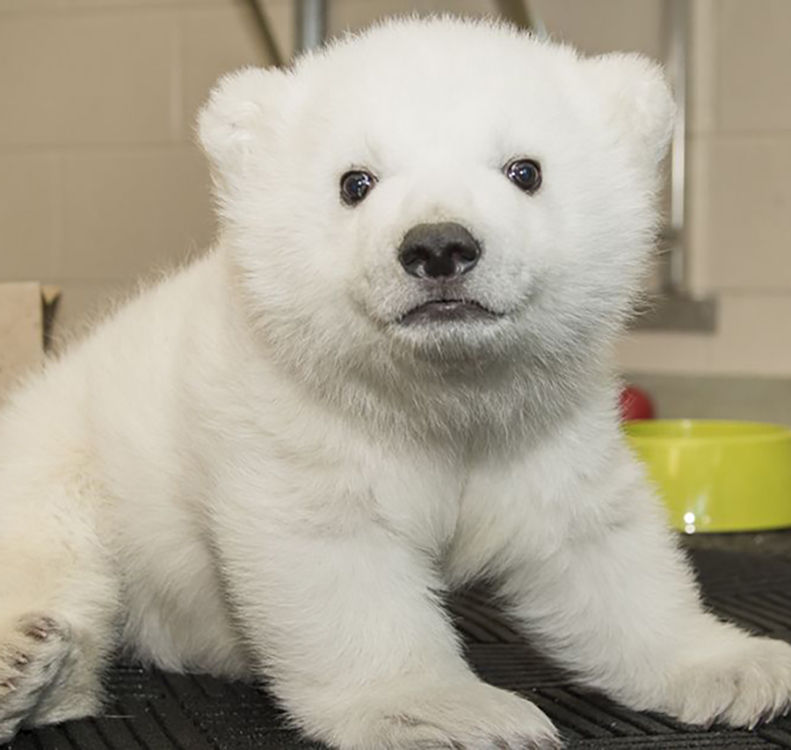 Polar Bear Cub Gets Her Name