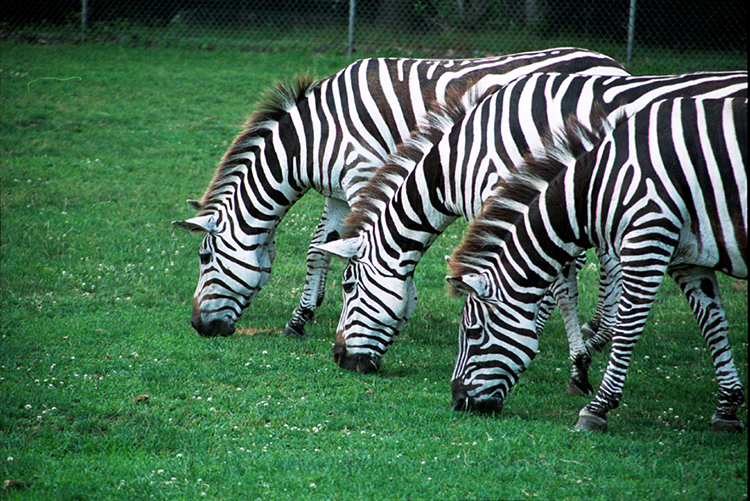 Three zebras in a row | Photography Tips