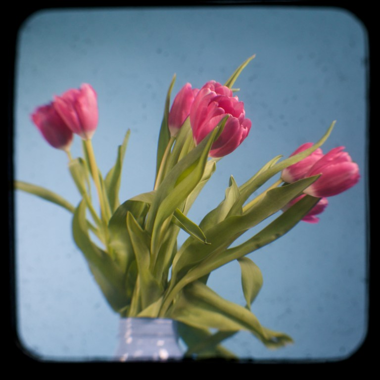 Pink Tulips   Shooting Through The Viewfinder