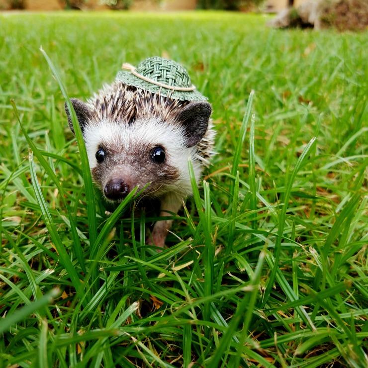 Hedgehog Wearing A Hat